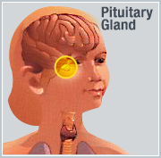 photo pituitary gland